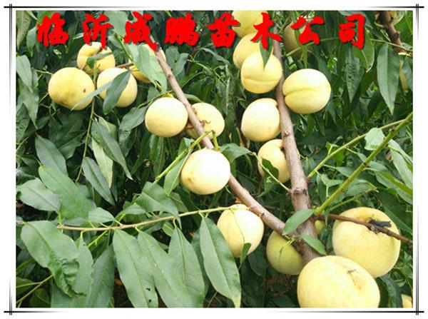 冬桃苗-金秋王桃