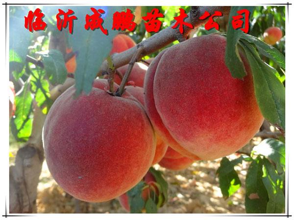 冬桃苗-冰糖蜜桃